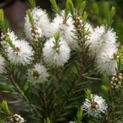 Етерично Масло Чаено Дърво /Melaleuca alternifolia/